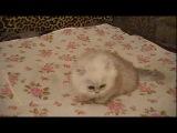 Котёнок Аделаиды 1,5 мес. Продан в Севастополь